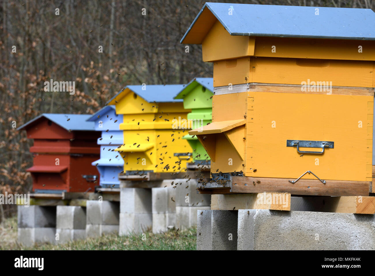 Warre beehives, bees in flight at the entrance to the hive, Doubs (25), Franche-Comte, France - Stock Image