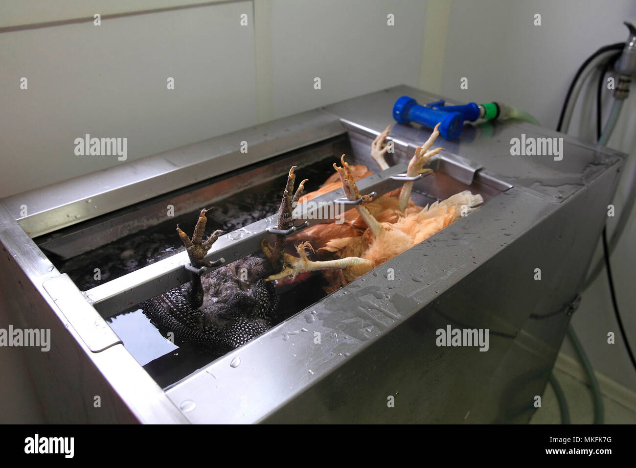 Organic poultry washing after slaughter, Provence, France - Stock Image
