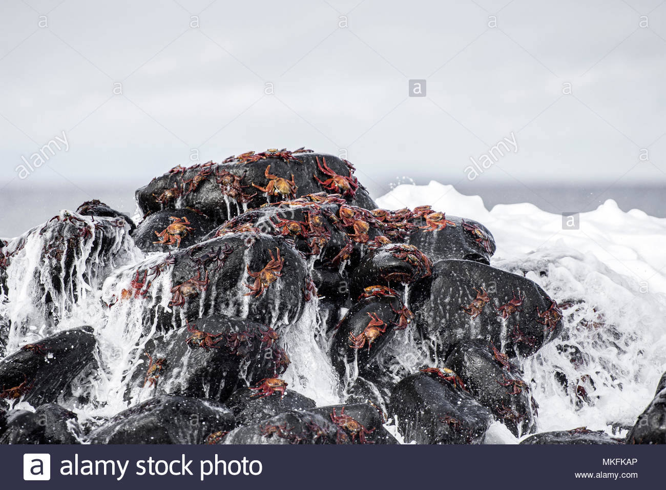 Sally Lightfoot Crabs (Grapsus grapsus) on rocks, Galapagos Islands - Stock Image