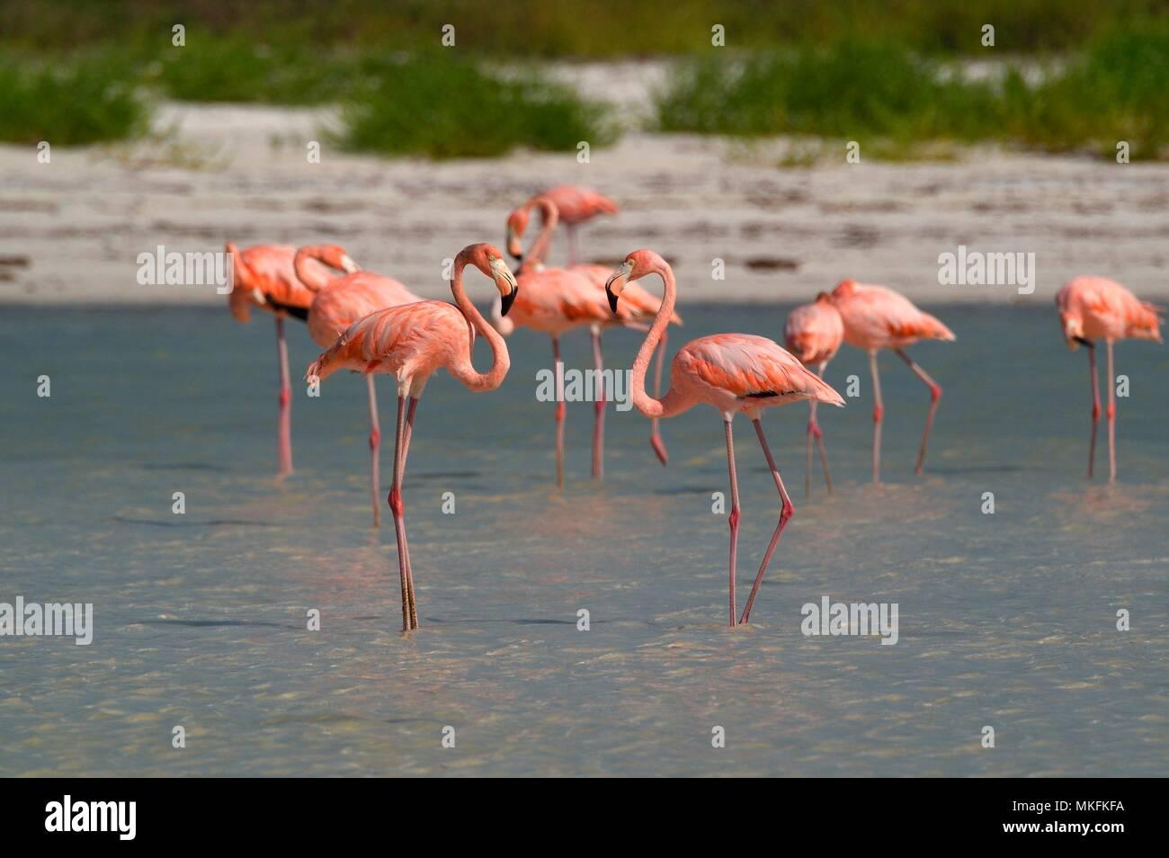 American Flamingo (Phoenicopterus ruber ruber) on the shore, Caribbean Sea, Holbox island, Yucatan Peninsula, Mexico - Stock Image