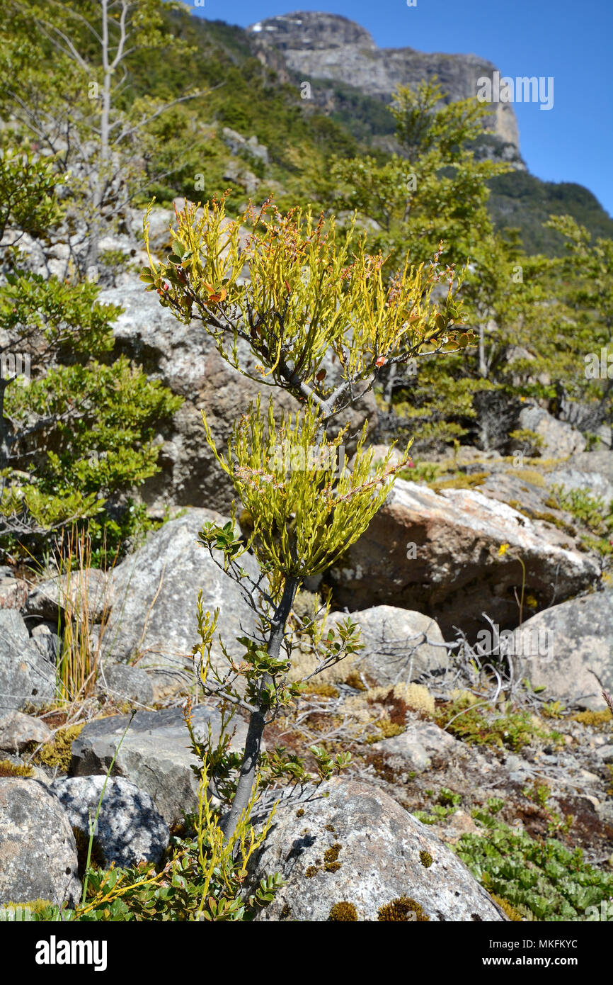 Chinese Lantern (Misodendrum punctulatum), Misodendraceae, semi-parasitic False Beech (Nothofagus) plant, Balmaceda Mountain Sector, Bernardo O'Higgins National Park, XII Magallanes and Chilean Antarctic Region - Stock Image