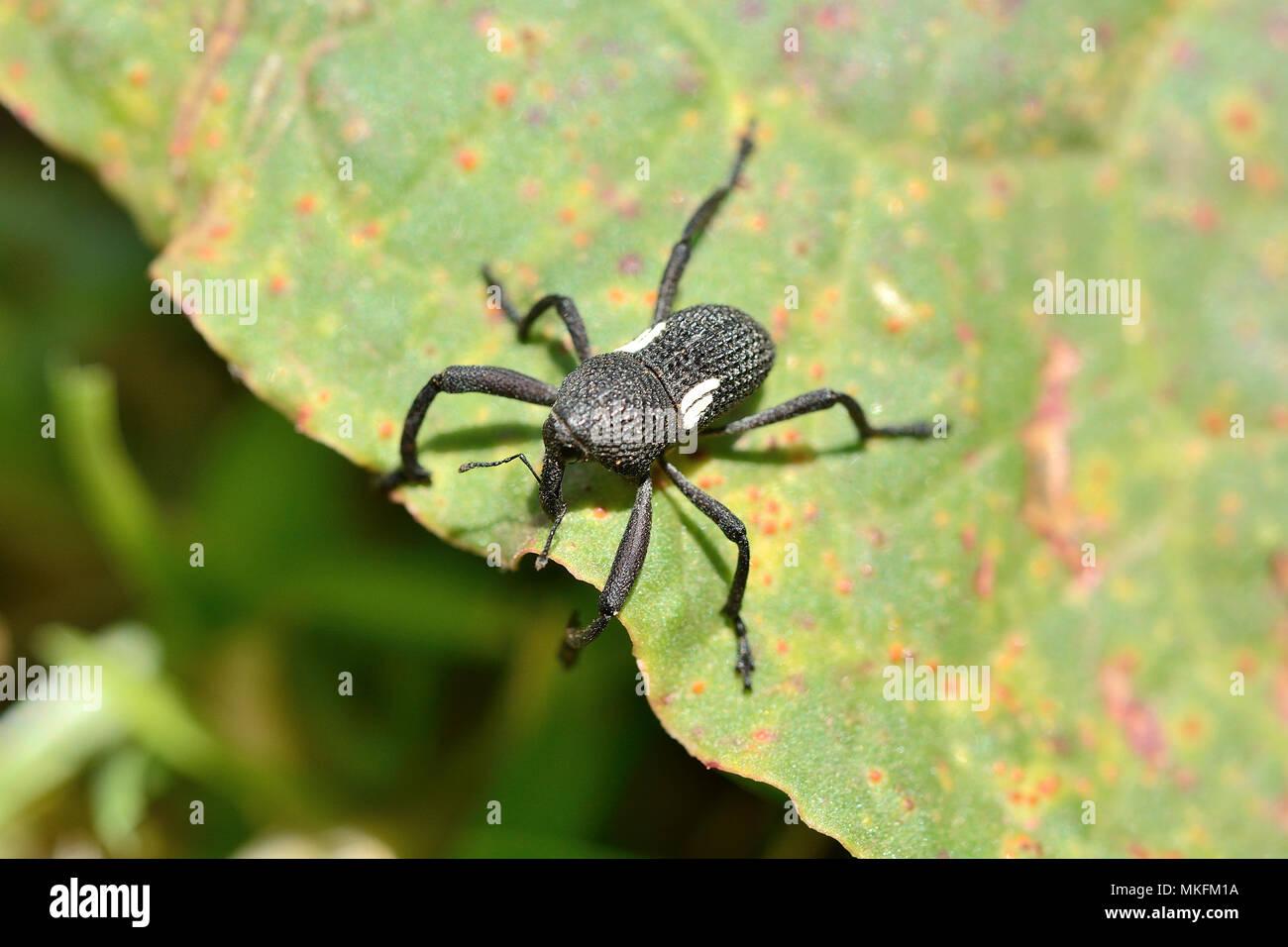 'Burrito' (Rhyephenes humeralis), Coleoptera Curculionidae, Vina del Mar, V Region of Valparaiso, Chile - Stock Image