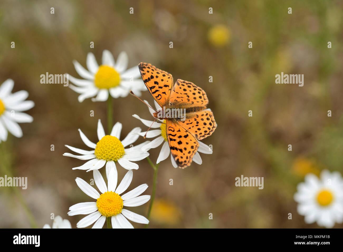 Mariposa Pintada (Yramea cytheris), Lepidoptera Nymphalidae, Cajón Grande Area, La Campana National Park, V Valparaiso Region, Chile - Stock Image