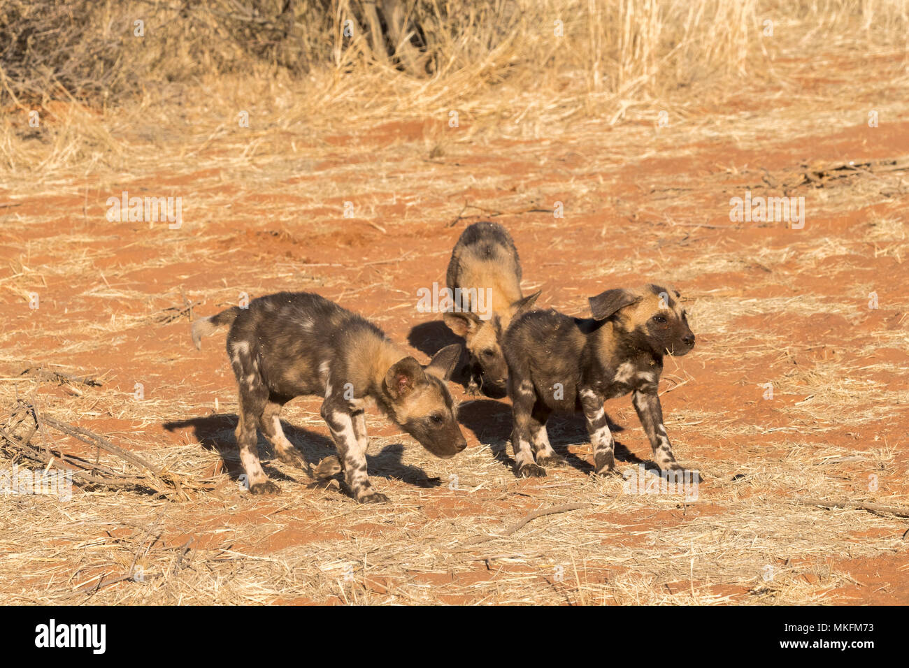 African wild dog or African hunting dog or African painted dog (Lycaon pictus), youngs, Kalahari Desert, South African Republic - Stock Image