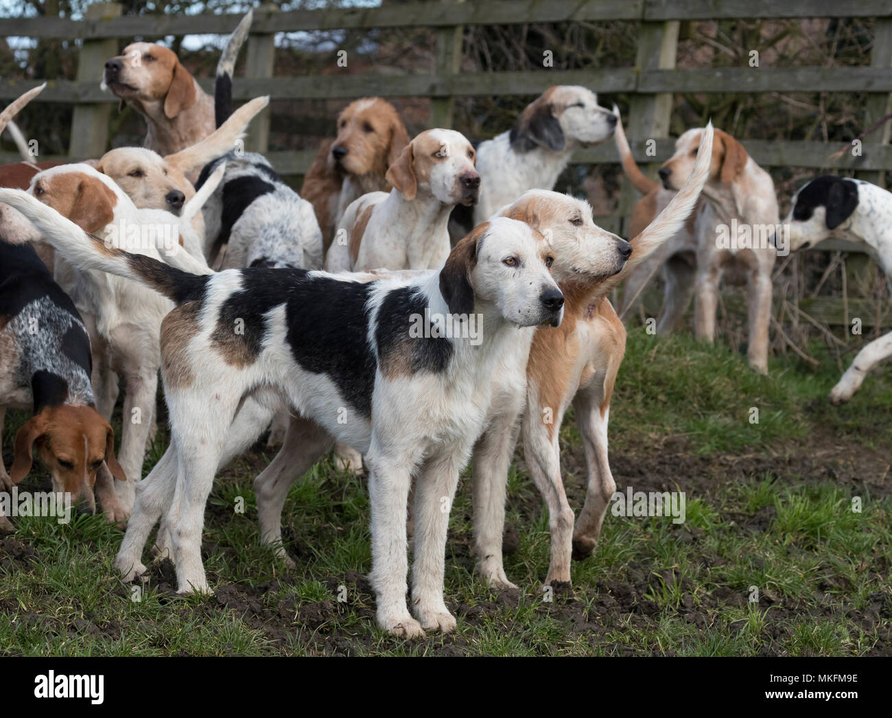 Foxhound,Canis lupus familiaris,dog, hunt, hunting, fox, close up, England, Winter, - Stock Image