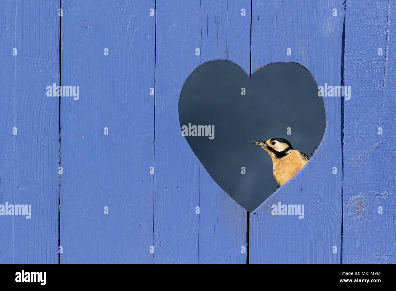 Great spotted woodpecker (Dendrocopos major) perched in a heart shape hole in a blue door, England - Stock Image