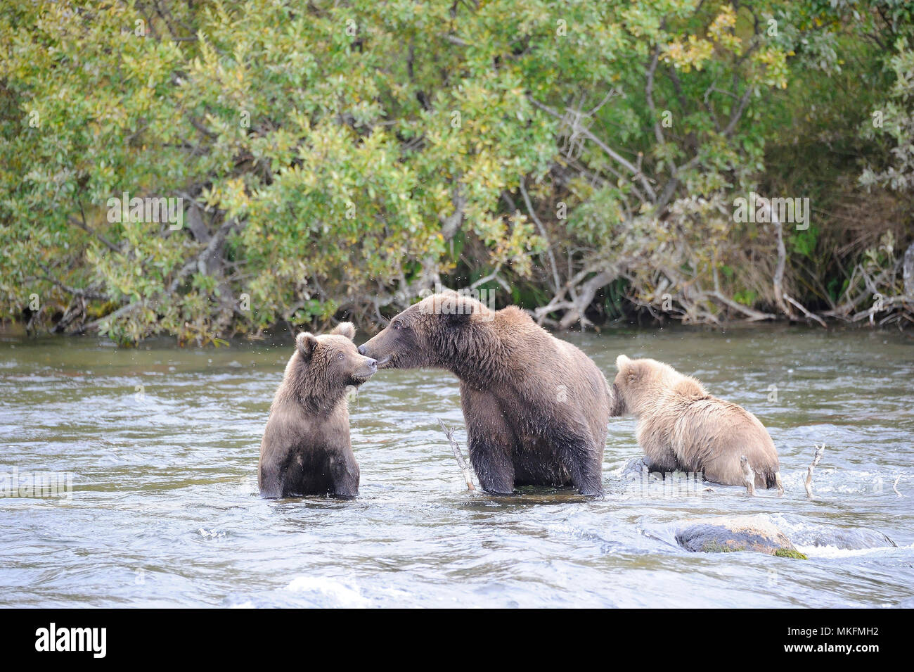 Grizzly (Ursus arctos horribilis) and cubs in water, Katmai National park Alaska USA Stock Photo