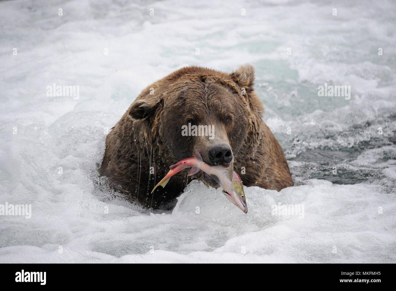 Grizzly (Ursus arctos horribilis) fishing in water, Katmai National park, Alaska USA Stock Photo