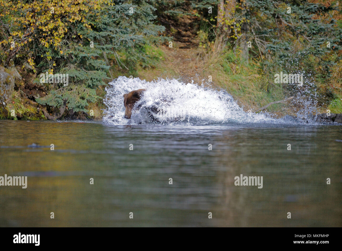 Grizzly (Ursus arctos horribilis) female jumping on salmons, Katmai National park, Alaska, USA Stock Photo