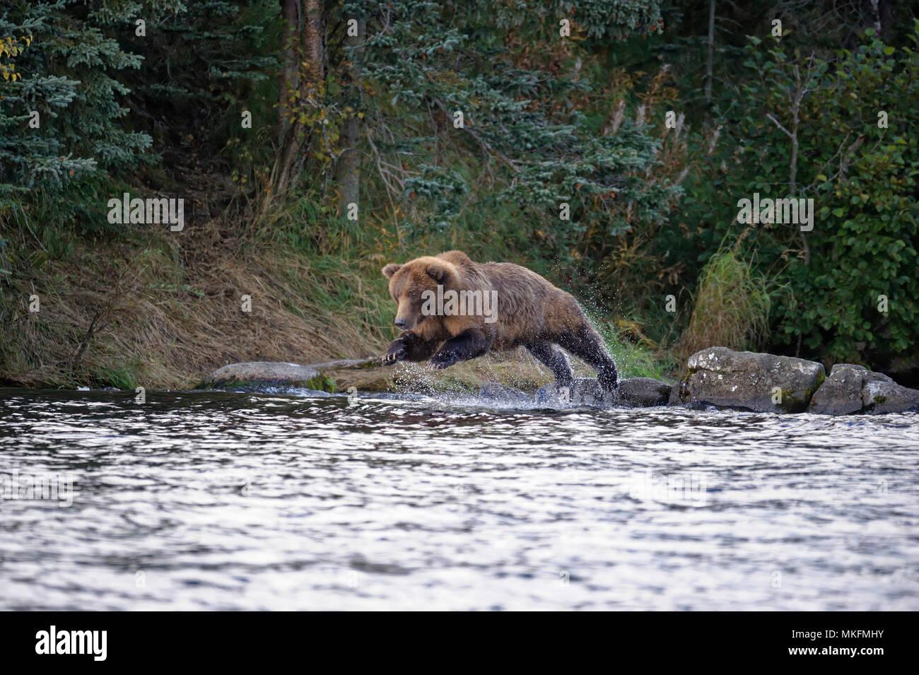 Grizzly (Ursus arctos horribilis) female jumping on salmons, Katmai National park, Alaska, USA Stock Photo