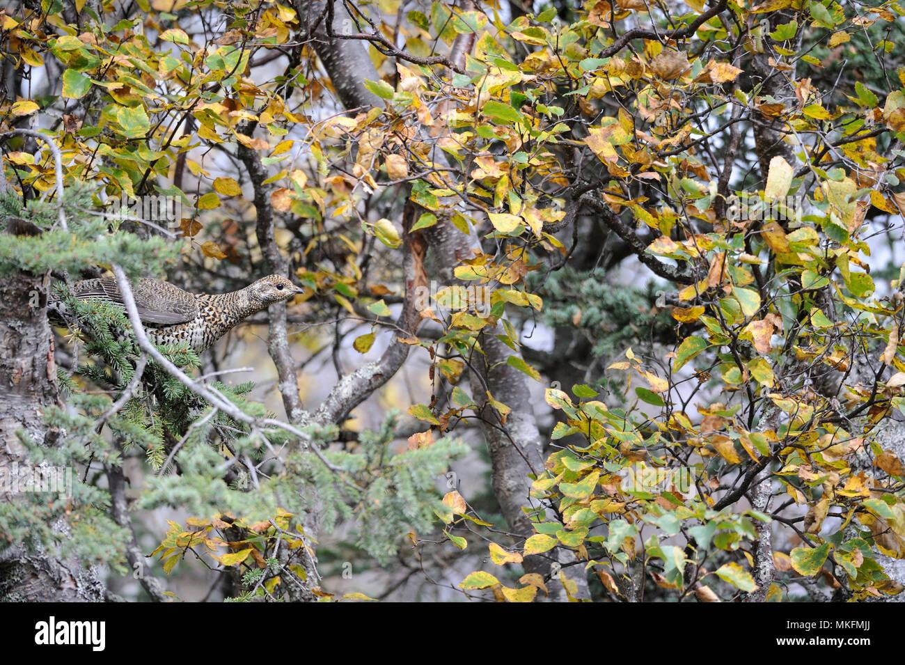 Spruce Grouse (Falcipennis canadensis) on a branch, Katmai National park, Alaska, USA - Stock Image
