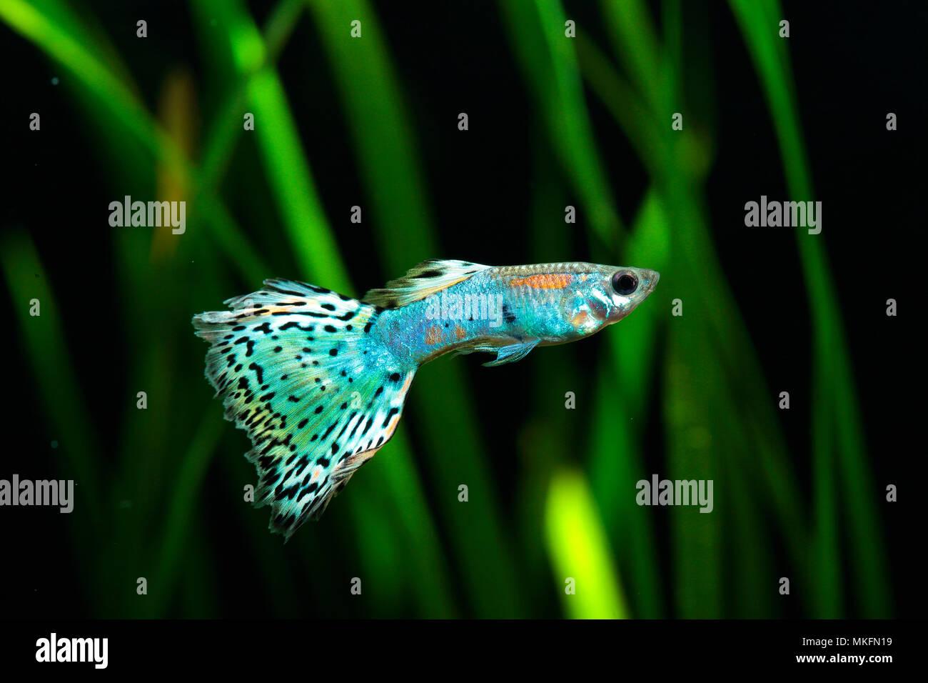 Guppy (Poecilia reticulata) 'Calico blue pink' male profil in aquarium Stock Photo