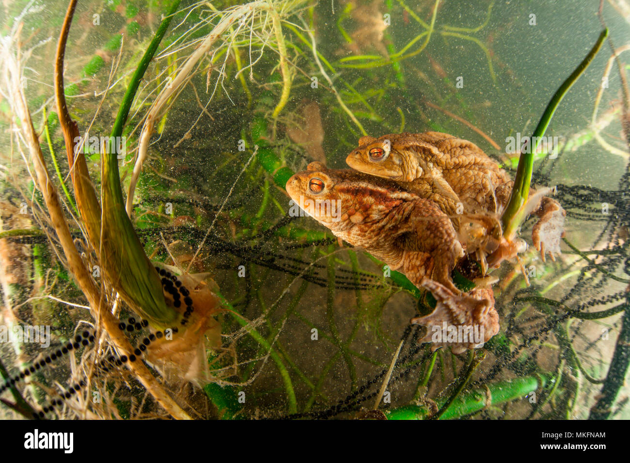 Reproduction of Common Toads (Bufo bufo) and their eggs in a lake, Ain, France - Stock Image