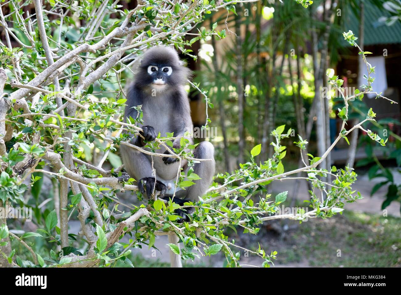 Monkey Railay Krabi Thailand Stock Photos Monkey Railay