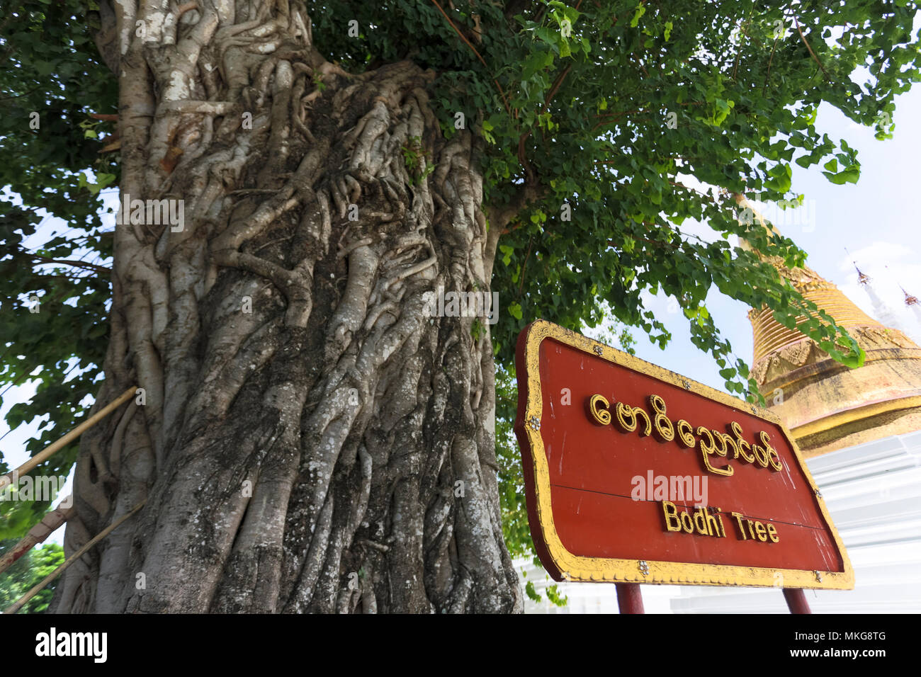 Bodhi tree and sign at Shwedagon Pagoda travel attraction in city of Yangon Myanmar Asia Stock Photo