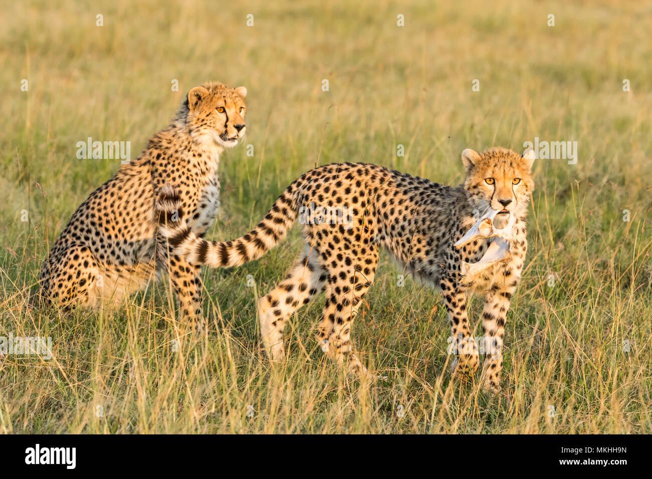 Cheetah (Acinonyx jubatus), young playing with bones, Masai-Mara National Reserve, Kenya - Stock Image