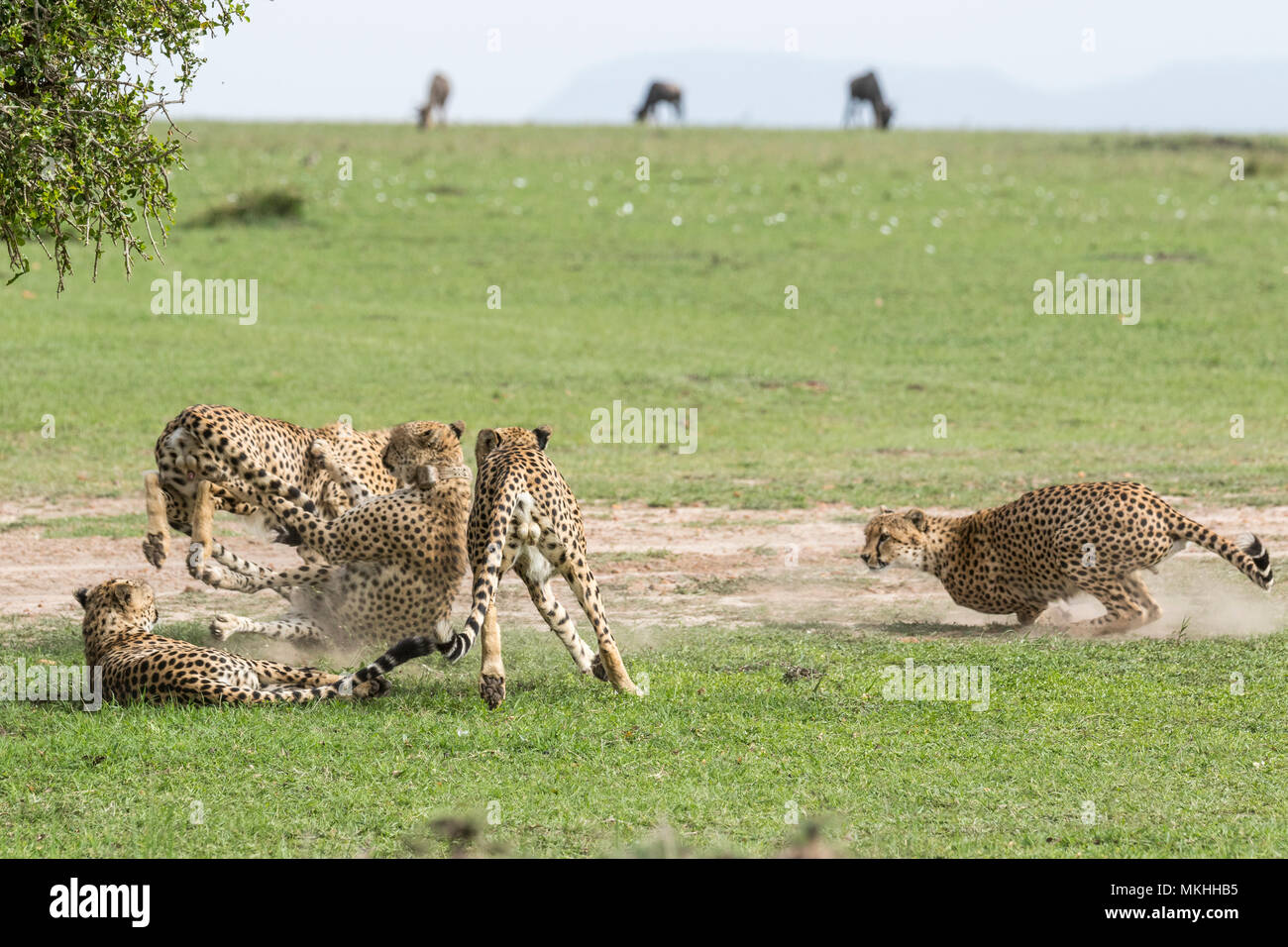 Cheetah (Acinonyx jubatus), an association of 5 males in conflict, Masai-Mara National Reserve, Kenya Stock Photo