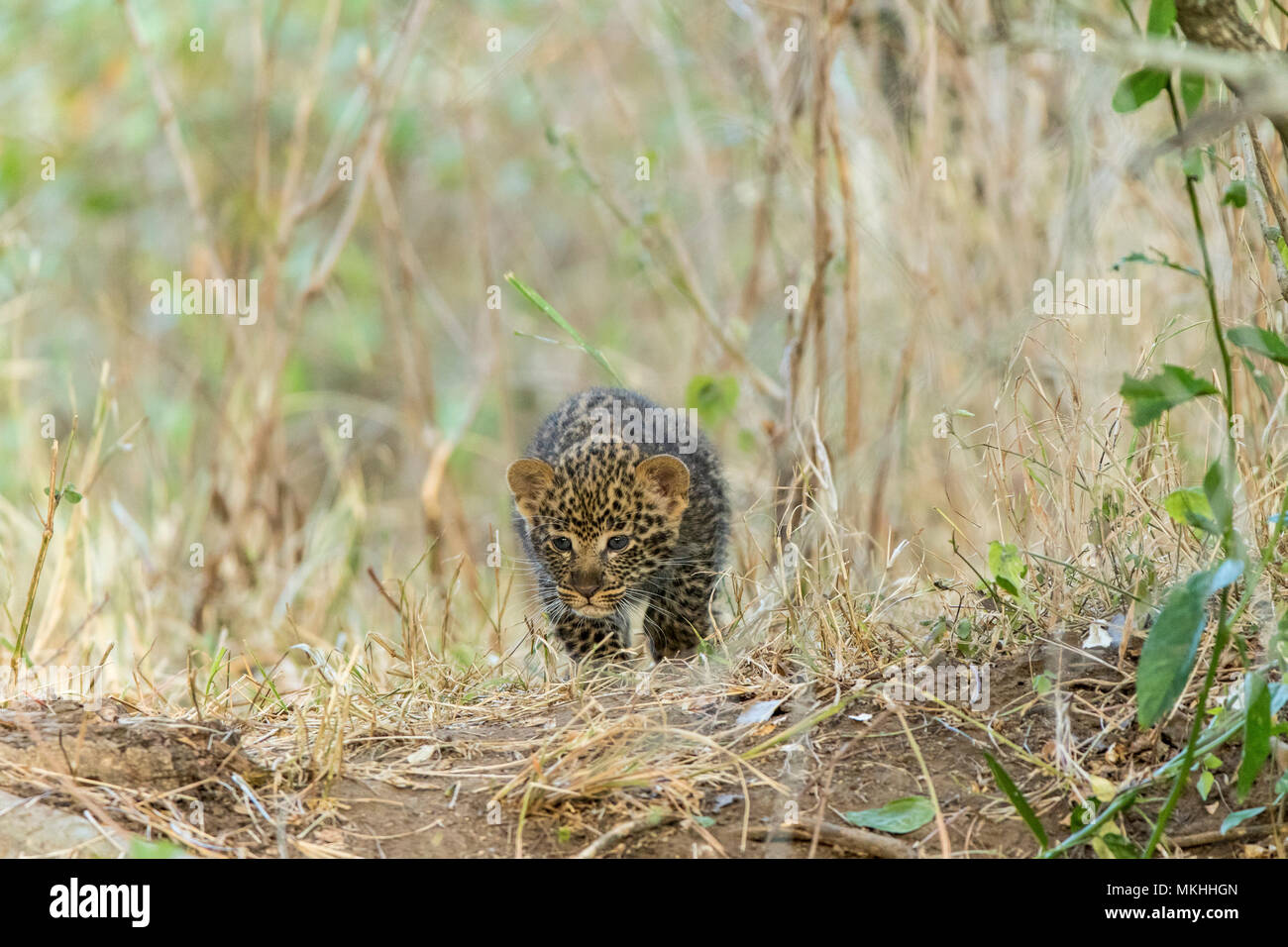 Leopard (Panthera pardus), 2 months old cub, Masai-Mara National Reserve, Kenya Stock Photo