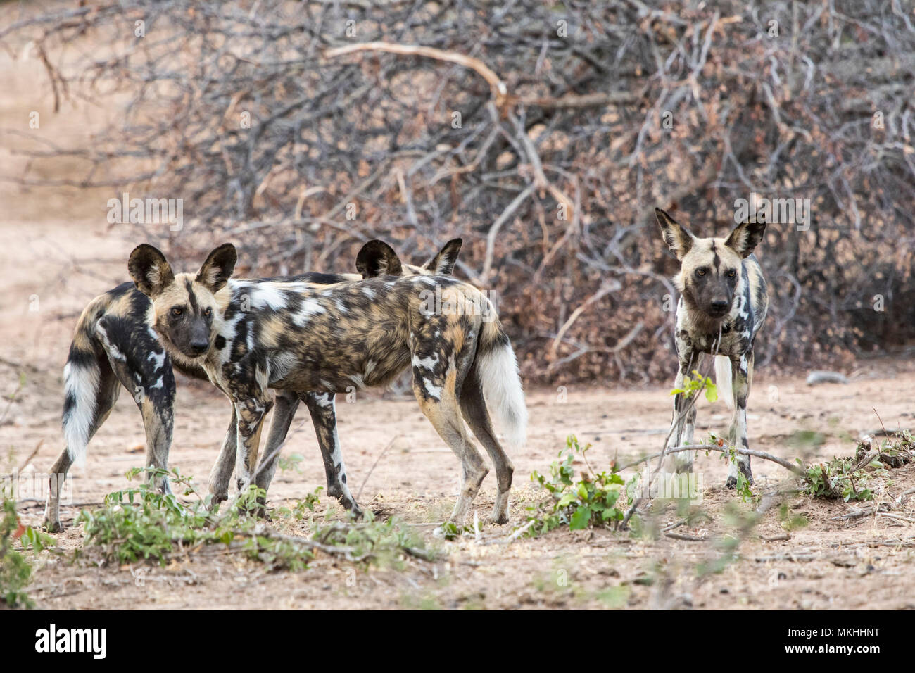 Lycaon (Lycaon pictus), halting during the hunt, Sabi Sand Reserve, South Africa - Stock Image