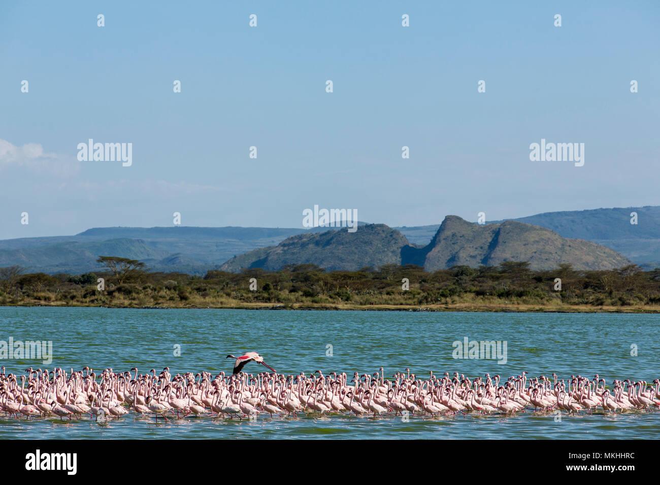 Lesser Flamingo (Phoeniconaias minor), Elmenteita Lake, Soysambu Conservation Area, Kenya Stock Photo