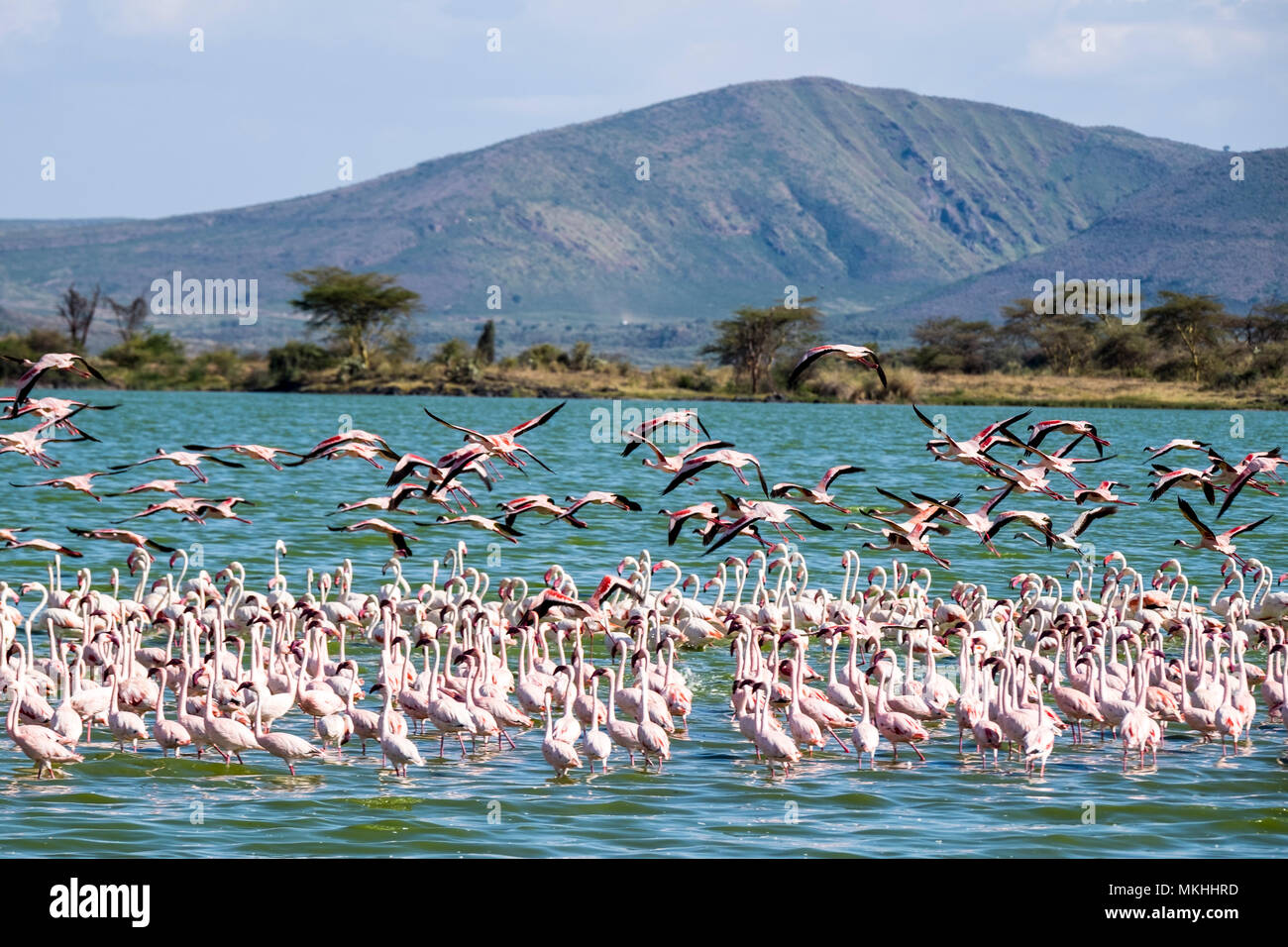 Lesser Flamingo (Phoeniconaias minor) and Greater Flamingo (Phoenicopterus roseus), Elmenteita Lake, Soysambu Conservation Area, Kenya - Stock Image
