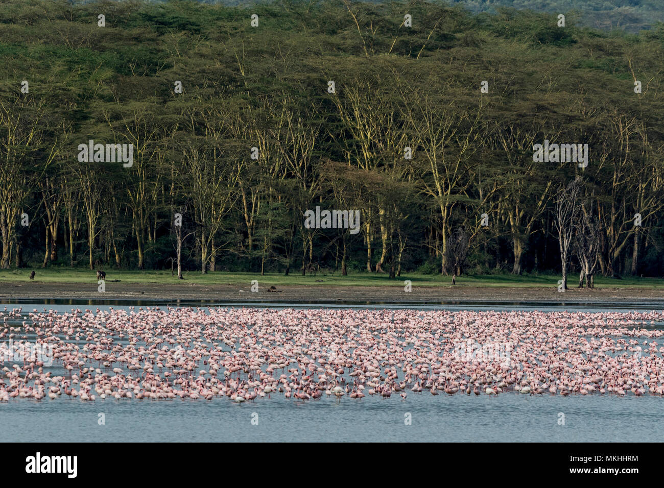 Lesser Flamingo (Phoeniconaias minor), Elmenteita Lake, Soysambu Conservation Area, Kenya - Stock Image