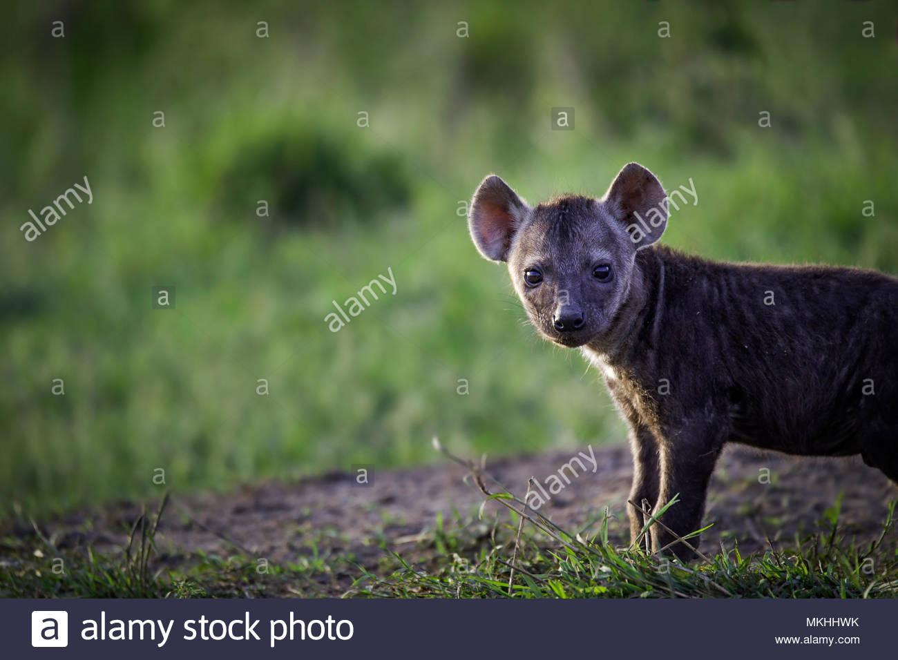 Spotted hyena (Crocuta crocuta) young intrigued, Masai Mara, Kenya - Stock Image