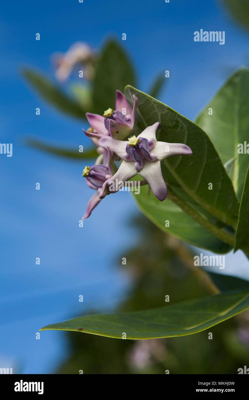 Crown flower (Calotropis gigantea) in Tahaa, French Polynesia - Stock Image