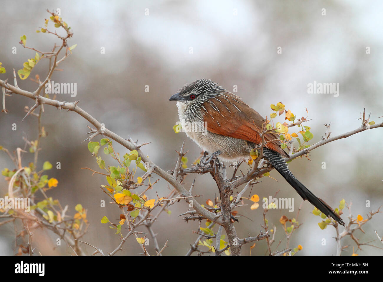 White-browed Coucal (Centropus superciliosus) adult perched in the morning on a thorny observing, North Tanzania - Stock Image