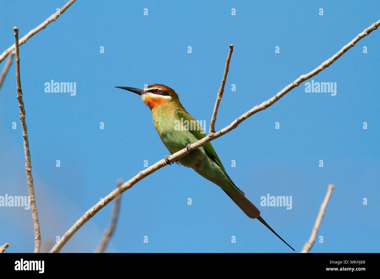 Madagascar Bee-eater (Merops superciliosus) adult perched on a background of blue sky, Madagascar - Stock Image
