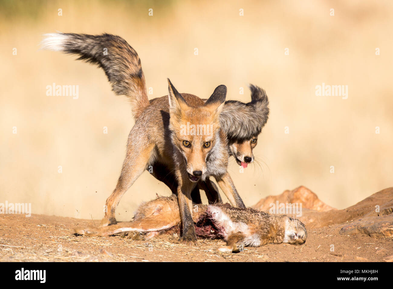 Red fox (Vulpes vulpes) fighting for a prey, Ciudad real, Spain - Stock Image