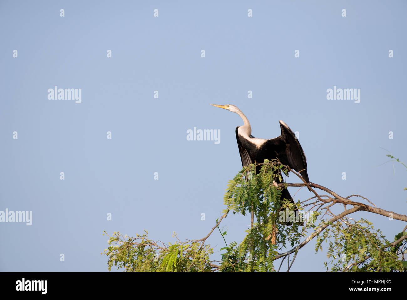 Oriental darter (Anhinga melanogaster) on a branch, Thailand - Stock Image