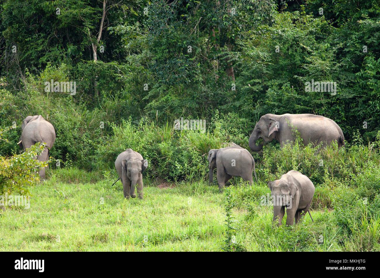 Asian Elephant (Elephas maximus) Family, Thailand - Stock Image
