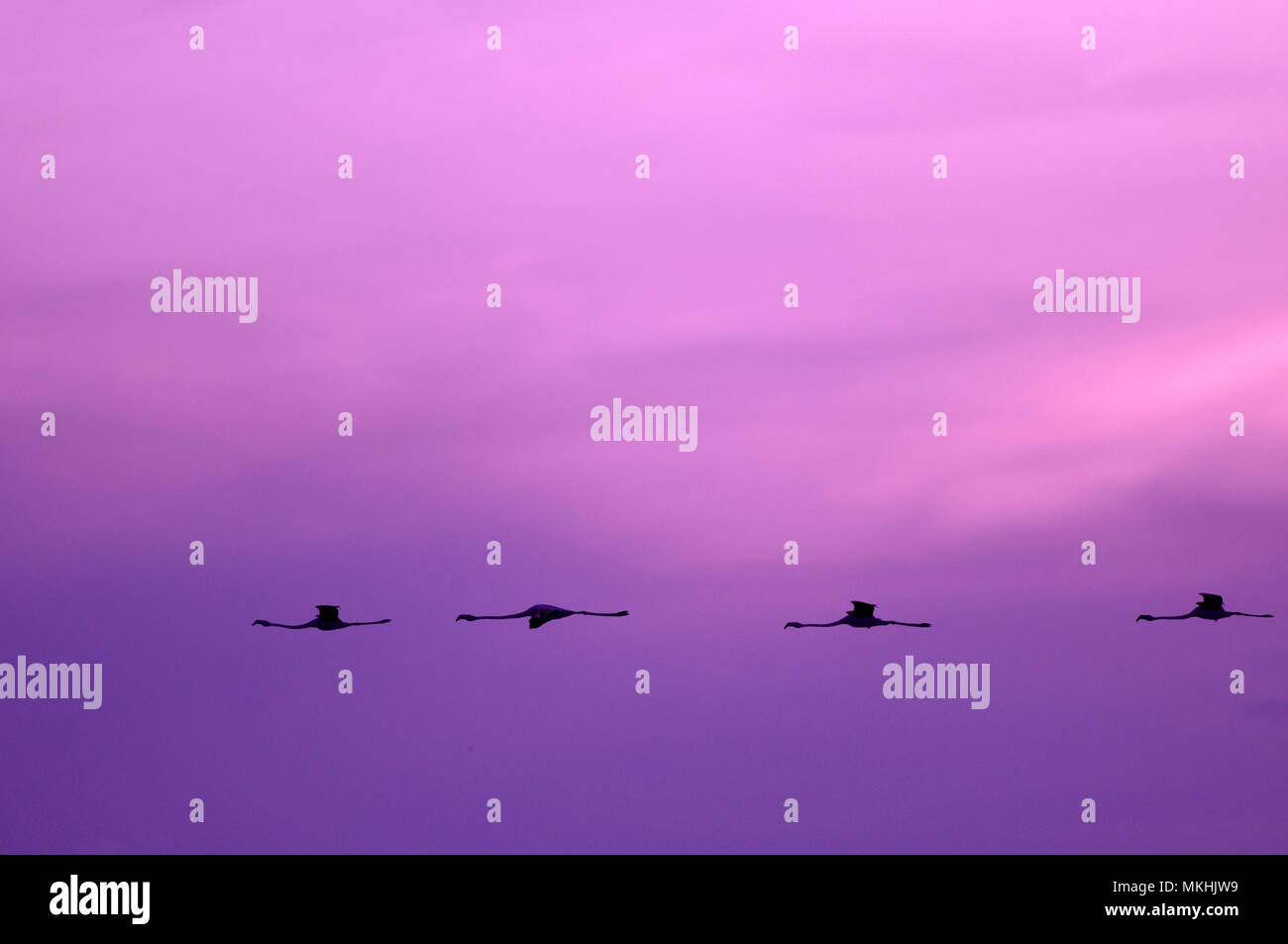 Great Flamingoes (Phoenicopterus roseus) in flight at dawn, Camargue, France Stock Photo