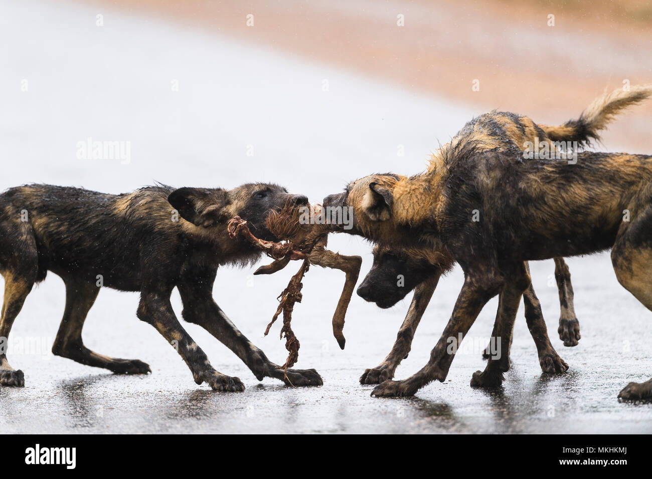 African Wild Dog sharing a prey (Lycaon pictus), South Africa, Kruger national park - Stock Image