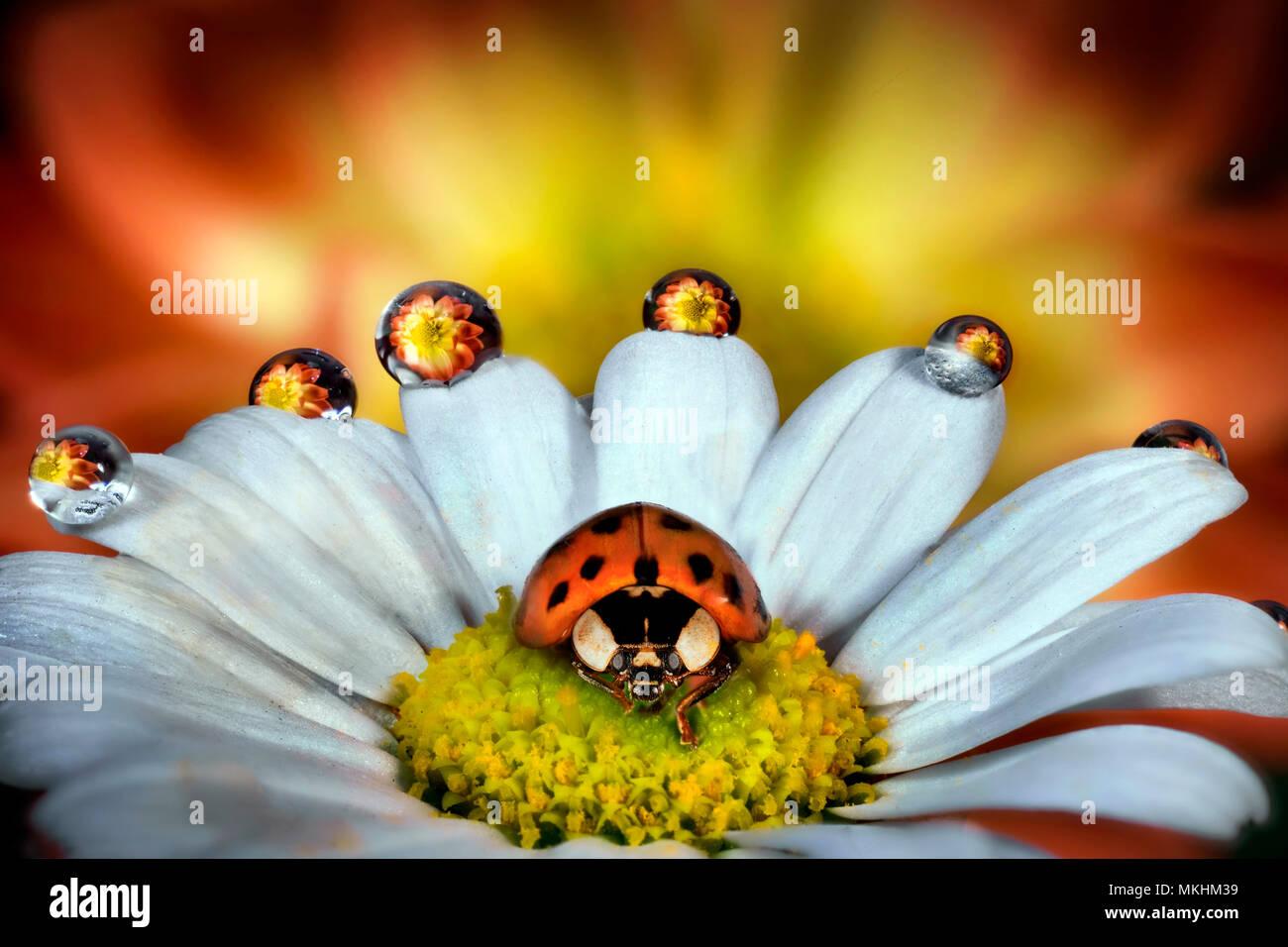 Ladybug on a daisy, Parma, Italy - Stock Image