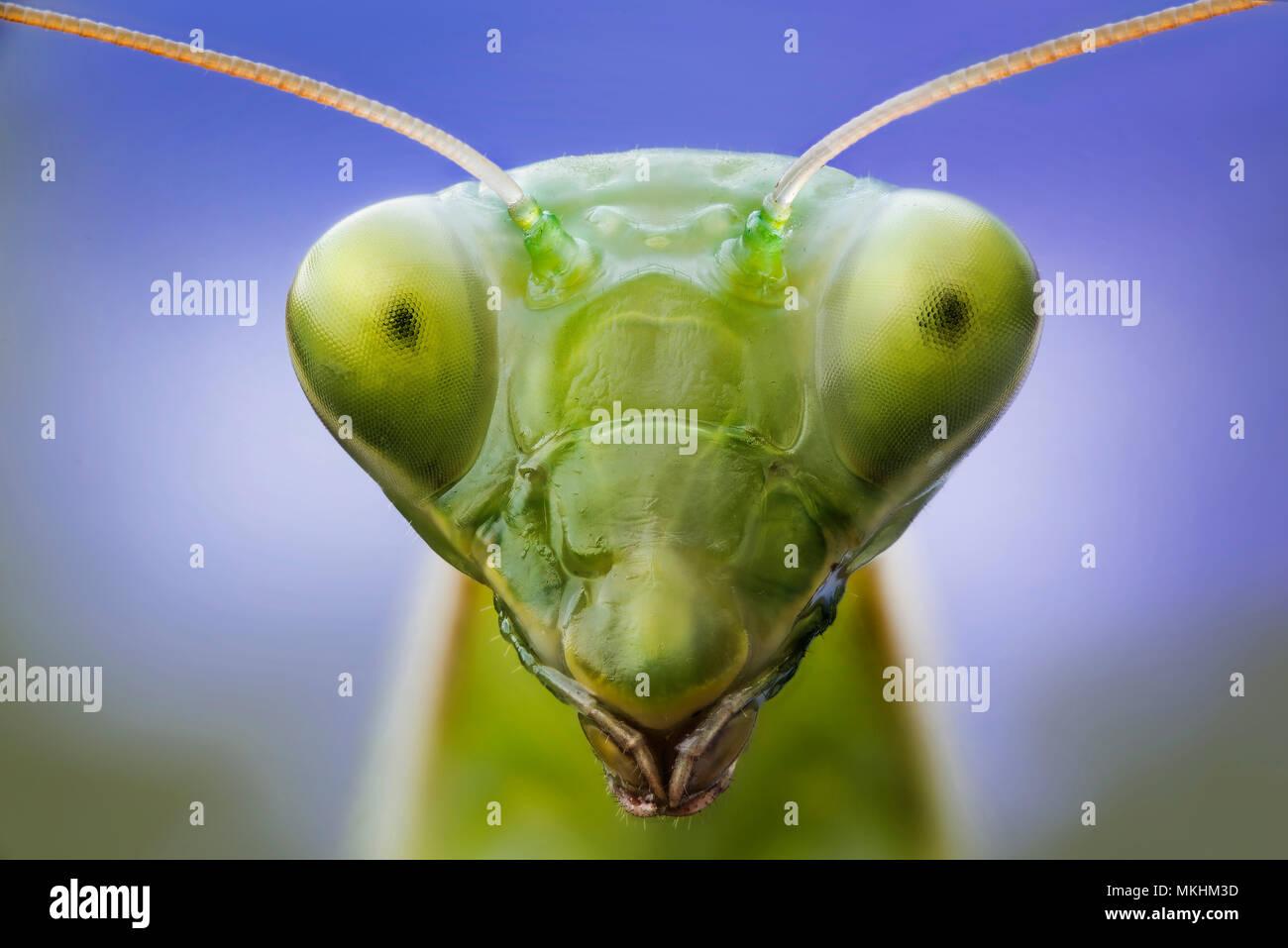 Portrait of Praying mantis (Mantis religiosa) in a forest near the Po river, Luzzara, Reggio Emilia, northern Italy Stock Photo