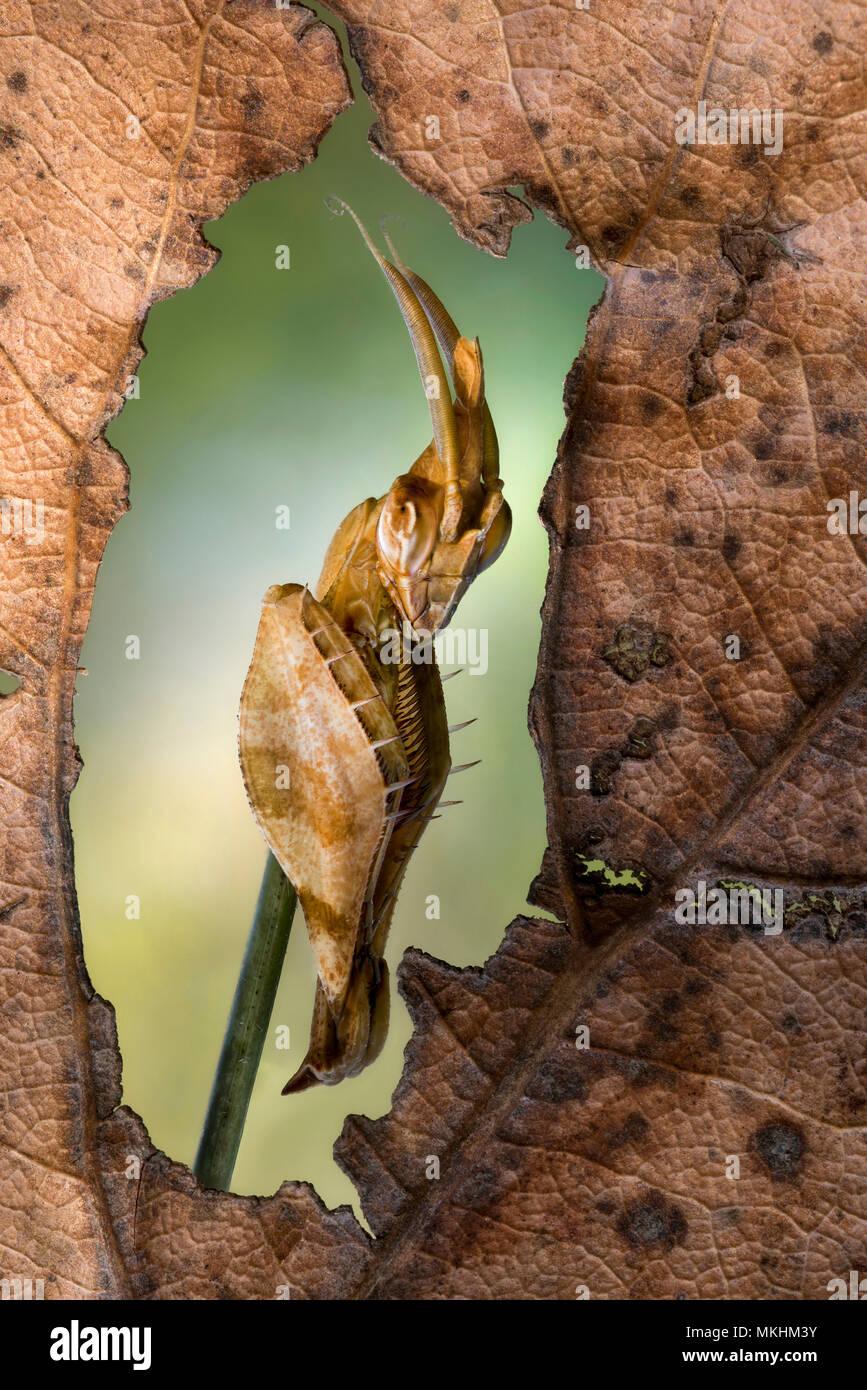 Mantis (Gongylus gongylodes) Stock Photo