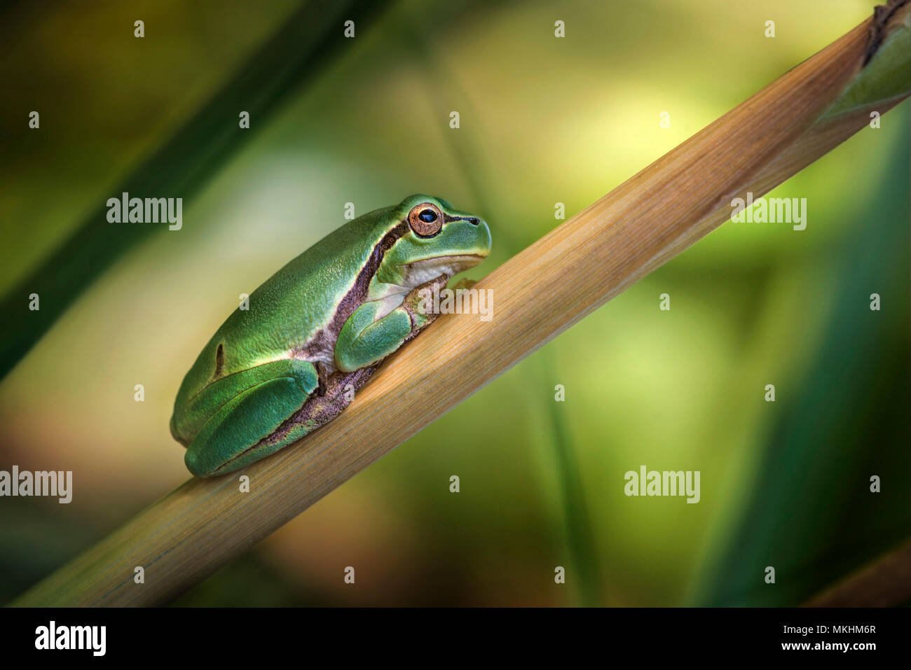 Italian Tree Frog (Hyla intermedia) resting, Luzzara, Reggio Emilia, Italy Stock Photo