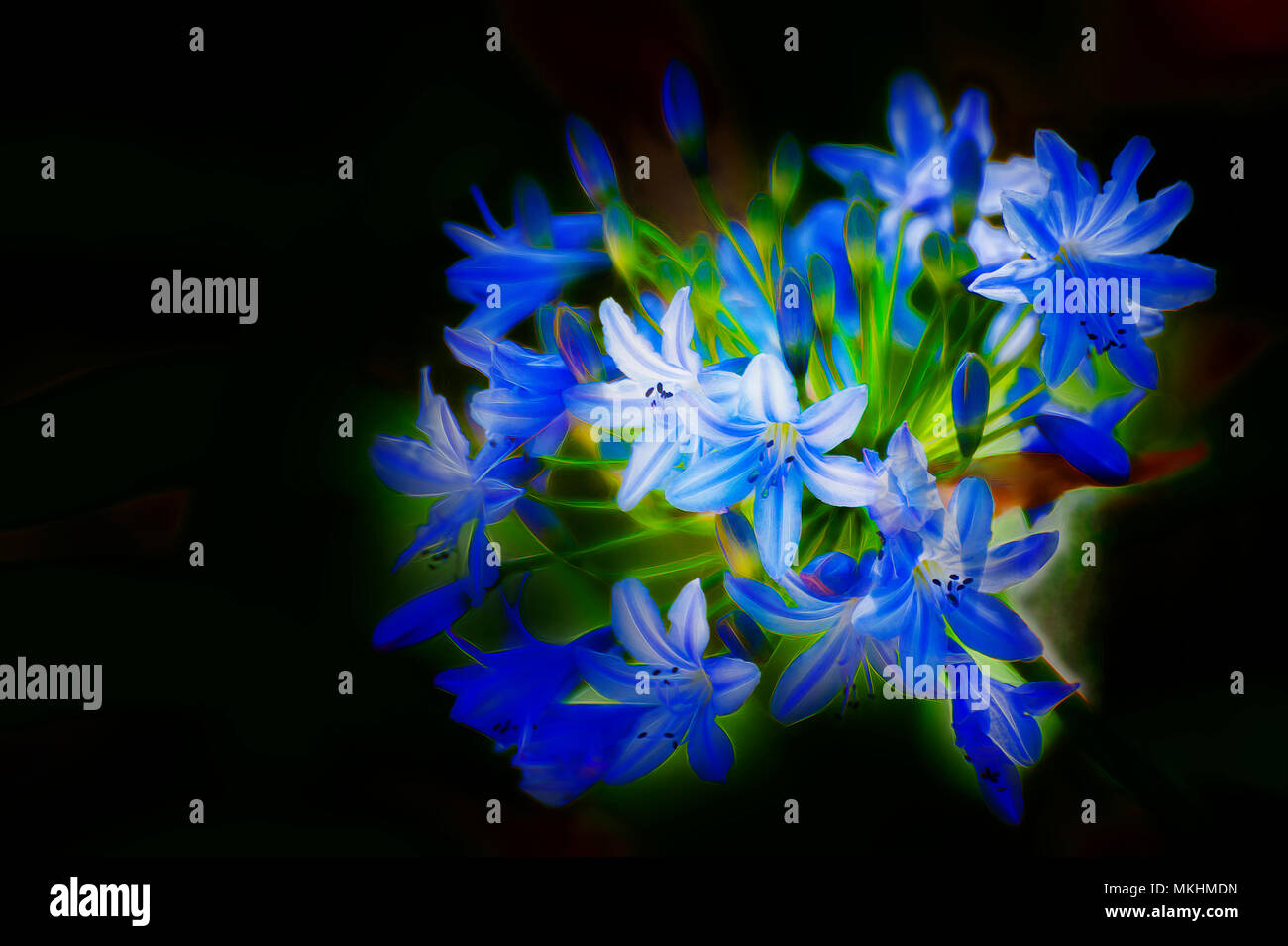 Digitally enhanced image of a cluster of delicate blue flowers with a black background and available copy space. - Stock Image
