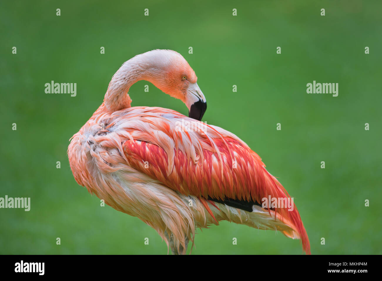 Flamingo bird on green natural background - Stock Image