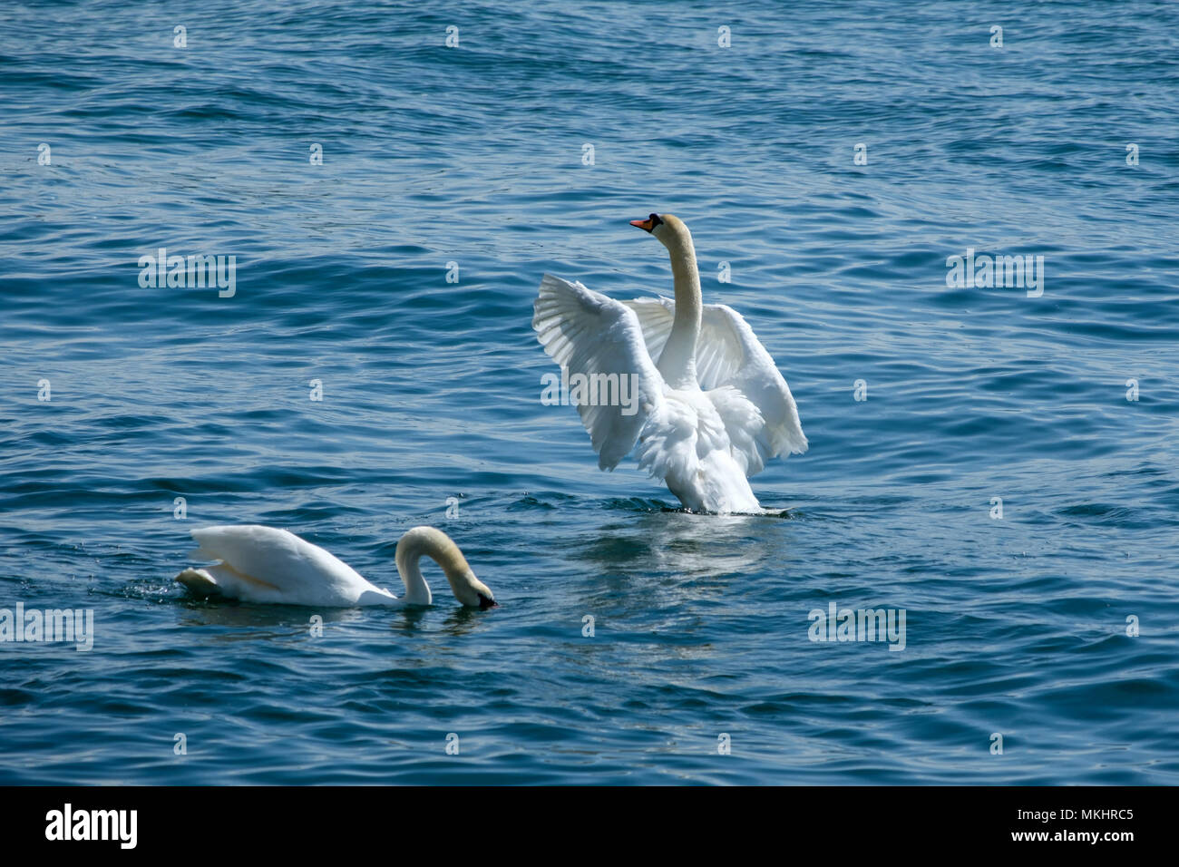 Swan flapping wings - Stock Image