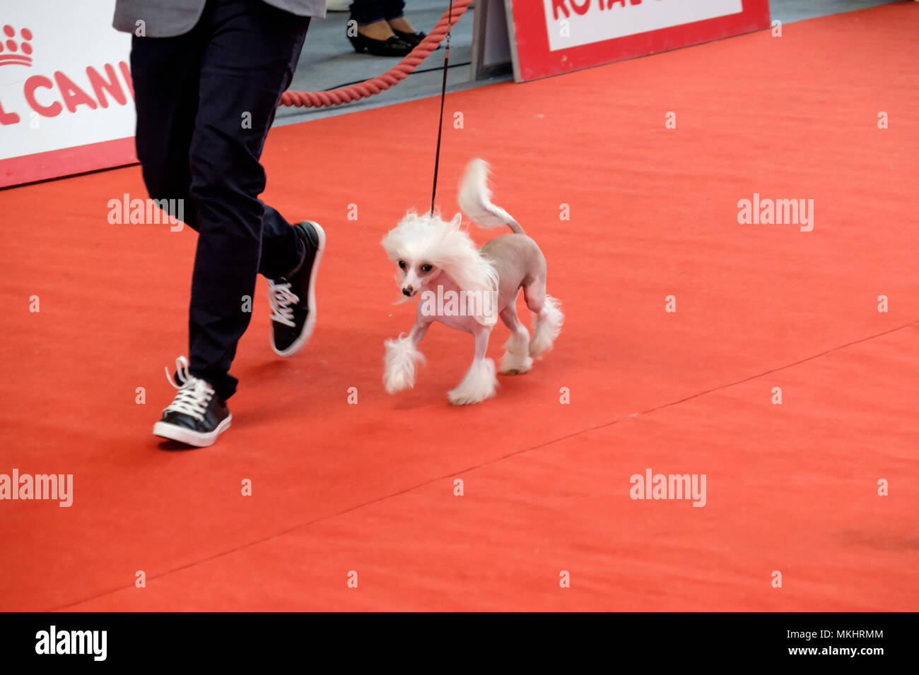 Person showing his Chinese Crested Dog to the judges during a dog show competition - Stock Image