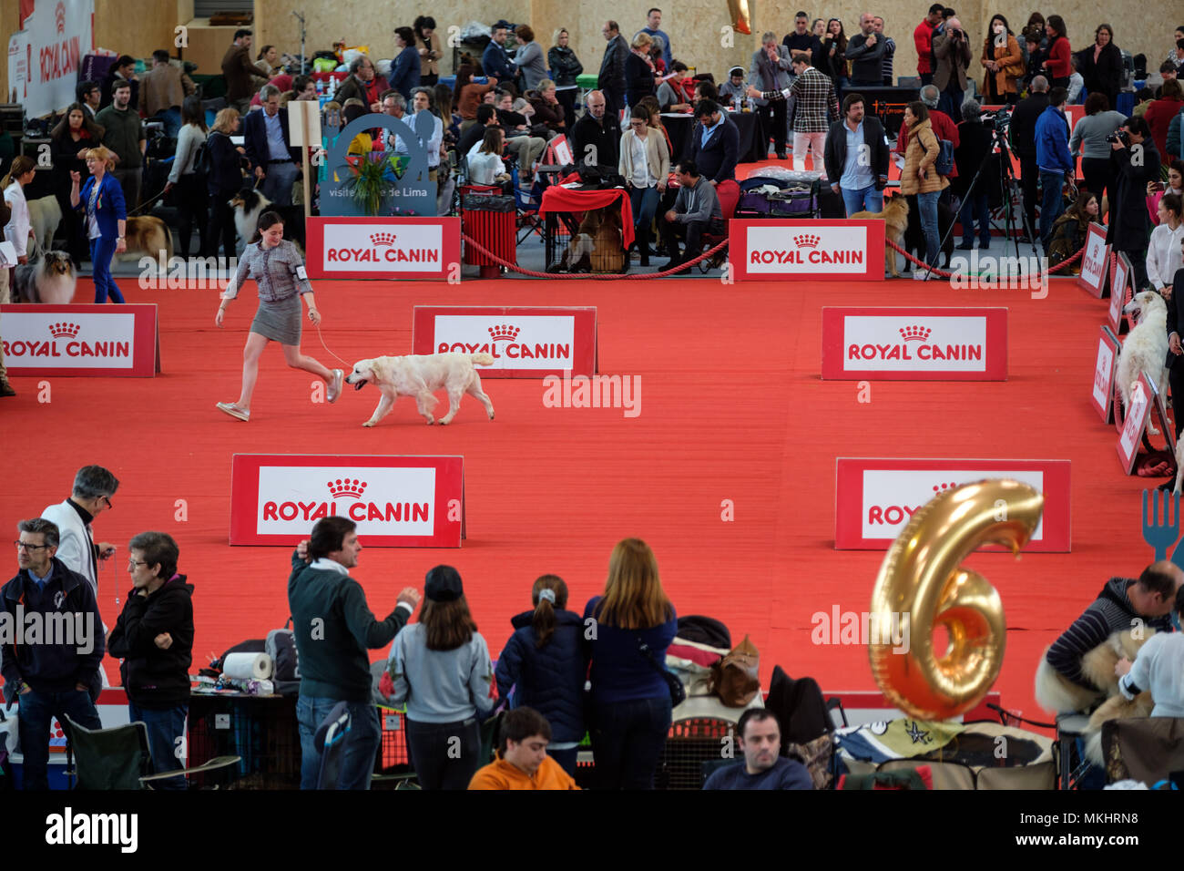 Overhead view of a woman walking her Golden Retriever during a dog show - Stock Image