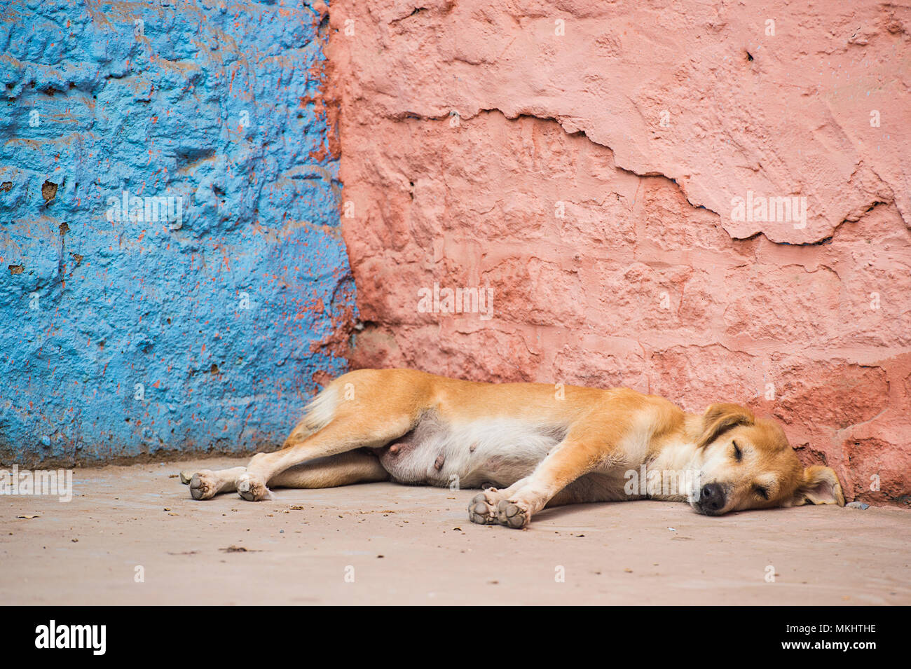 A cute dog is sleeping in front of a blue and pink colored wall in India. - Stock Image
