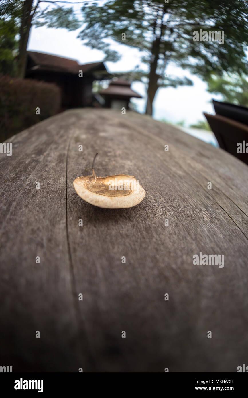 Macro close up of angsana casuarina tree seed on dark background wooden plank - Stock Image