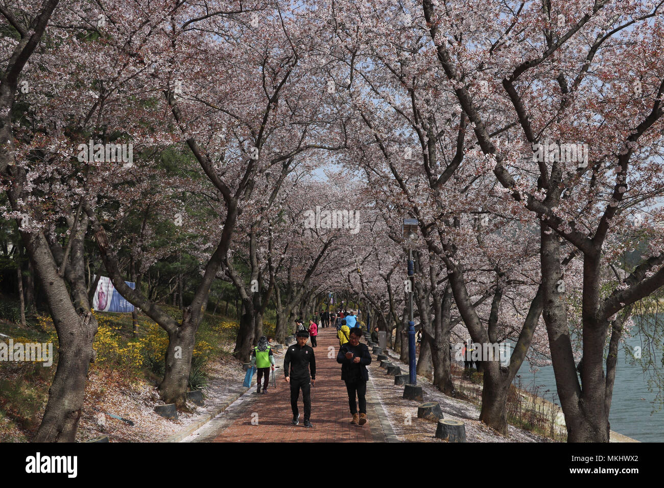 Visitors strolling around Lake Bomun in Gyeongju, South Korea, at the peak of cherry blossom season (beojkkoch), tall cherry trees cover the pathway. Stock Photo