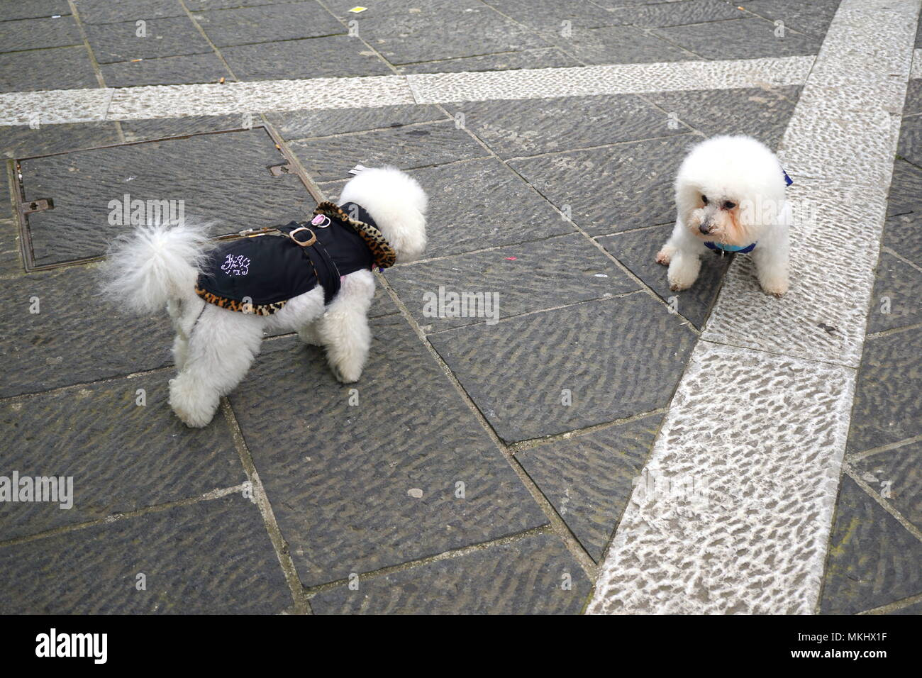 Two cute Bichon Frise, small dogs - Stock Image