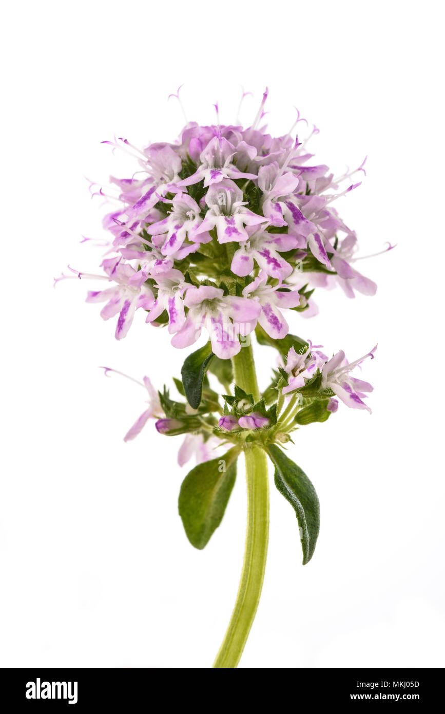 Summer savory flowers isolated on white background - Stock Image