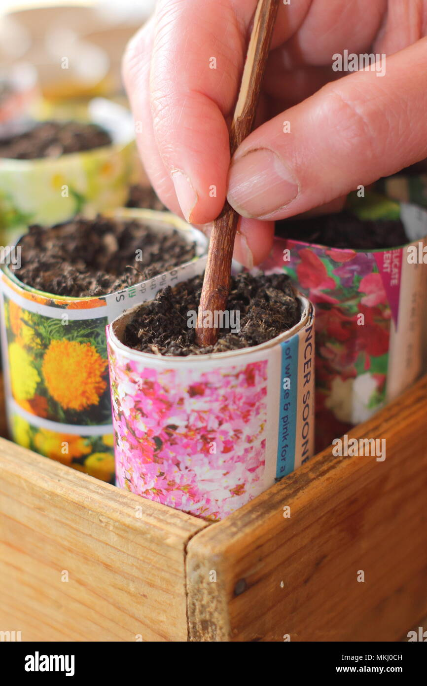 Making hole in potting soil to sow seeds in recycled paper pots as an alternative to using plastic in gardening, UK - Stock Image